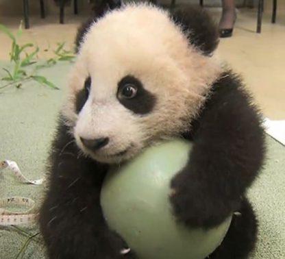 panda with 12 ball