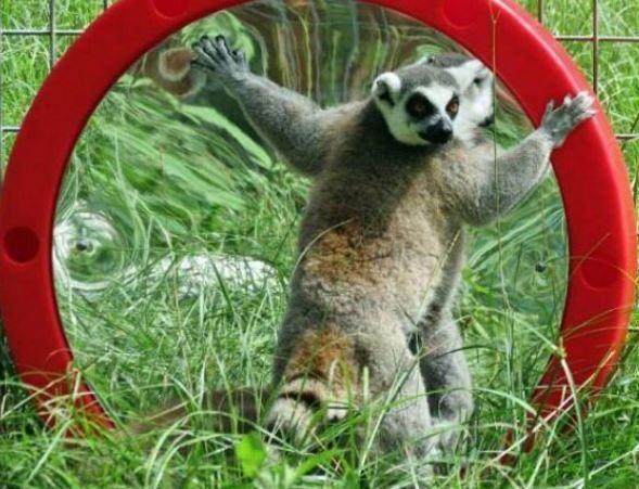 looky lou with lemur